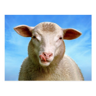 Lucie the sheep -likes you postcard