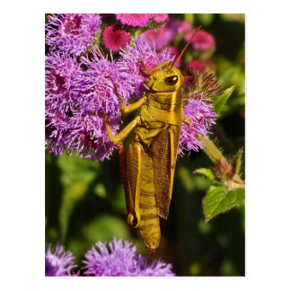 Lucky Grasshopper on Ageratum Post Cards