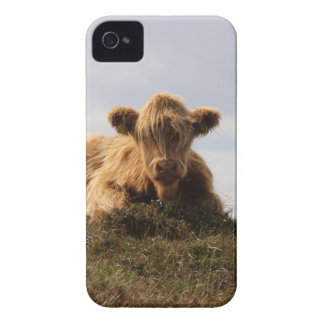 Luing cow on the Isle of Islay, Scotland iPhone 4 Cover