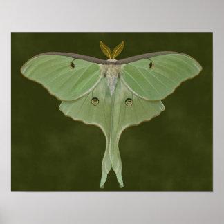 Luna Moth Drawing Poster