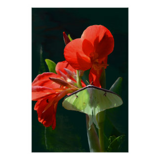 Luna Moth on Canna Flower Poster
