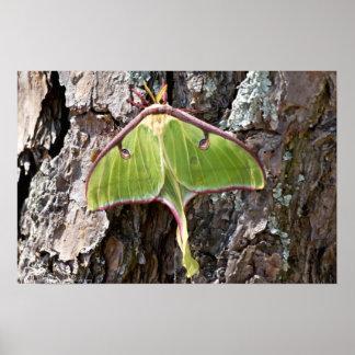 Luna Moth on Short Leaf Pine Bark Poster