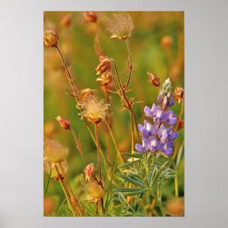 Lupine & Prairie Smoke wildflowers in Montana Poster