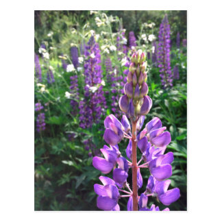 Lupine summer postcard