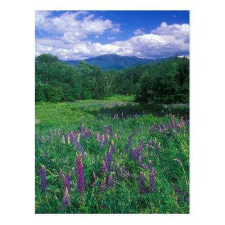 Lupines Mount Lafayette Postcard