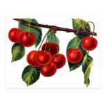 Luscious Sweet Cherries Postcards