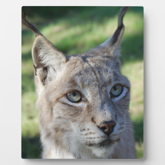 Lynx Lynx Bobcat - by Jean Louis Glineur Photo Plaques