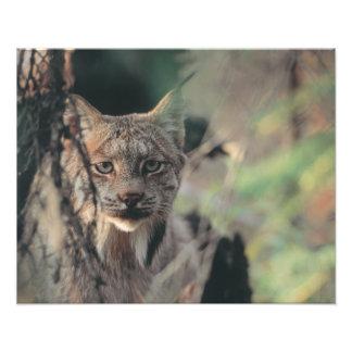 Lynx, Lynx canadensis, Denali National Park, Photo