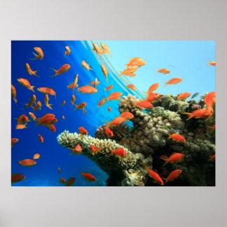 Lyretail anthias on coral reef poster