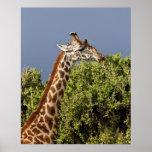 Maasai Giraffe (Giraffe Tippelskirchi) as seen 3 Poster