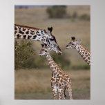 Maasai Giraffe (Giraffe Tippelskirchi) as seen Poster