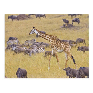 Maasai Giraffes roaming across the Maasai Mara 2 Postcard