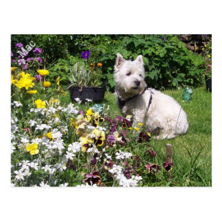 Mac, West Highland White Terrier Westie Postcard