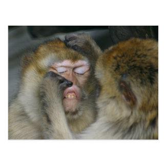 Macaca sylvanus postcard