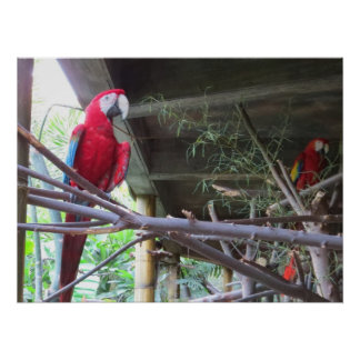 Macaw Red Parrot Poster