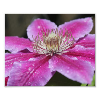 Macro Close Up of Pink Clematis Flower Photo Print