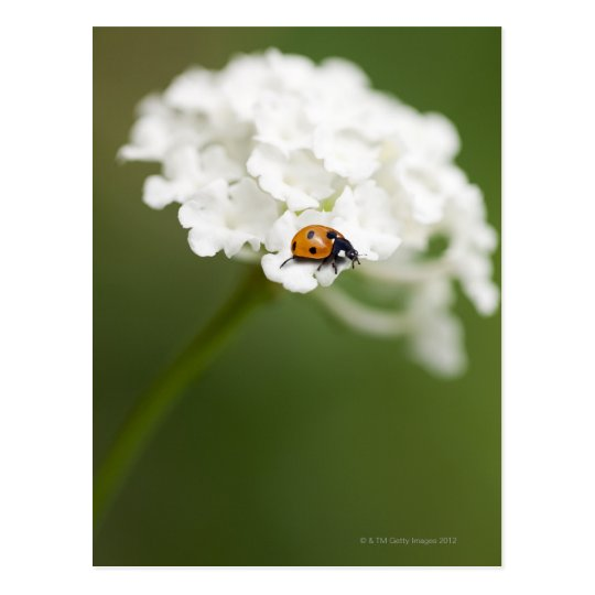 Macro image of a Ladybird on a wild flower Postcard