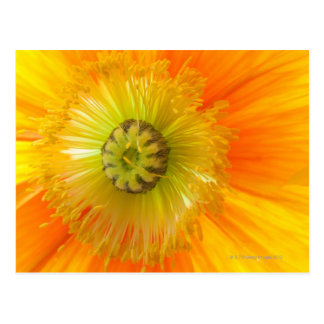 Macro of orange poppy with low depth of field postcard