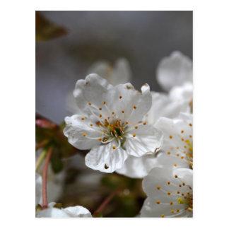 macro photo of cherry flowers postcard