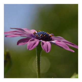Macro Shot Of A Purple Osteospermum Poster