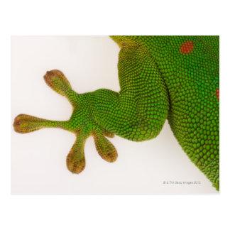 Madagascar day gecko (Phelsuma madagascariensis 2 Postcard