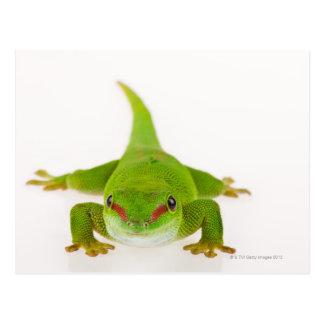 Madagascar day gecko (Phelsuma madagascariensis) Postcard