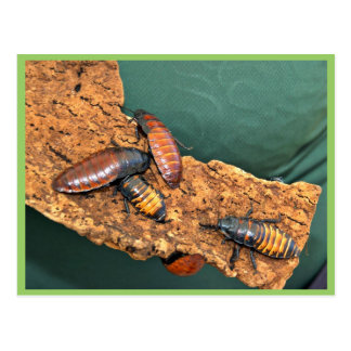 Madagascar hissing cockroaches postcard
