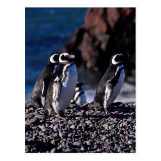 Magellanic Penguin Postcard