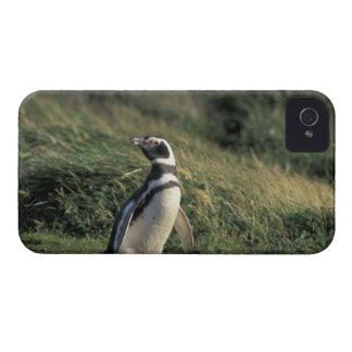 Magellanic Penguin (Spheniscus magellanicus), Case-Mate iPhone 4 Cases