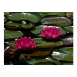 Magenta Lotus Waterlilies Postcard
