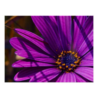 Magenta The African Daisy Print