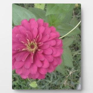 Magenta Zinnia Flower Photo Plaque