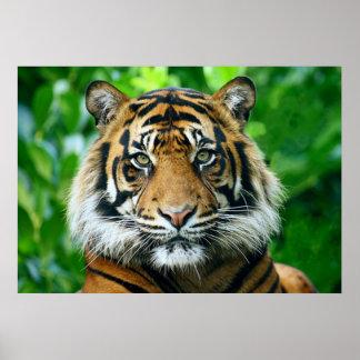 Magestic Bengal Tiger Poster