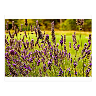 Magic Lavender Postcard