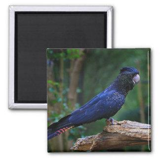 Magnet blue cockatoo