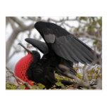 Magnificent Frigate Bird Postcard