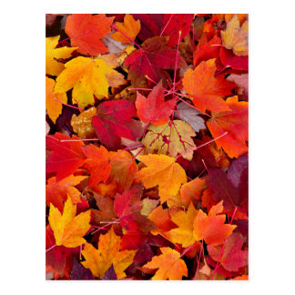Magnificent Maple Leaves Postcard