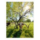 Magnificent Texas Longhorn Steer Postcard