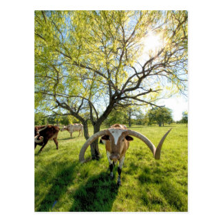 Magnificent Texas Longhorn Steer Postcard