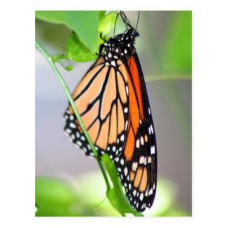 Magnifico Monarch postcard