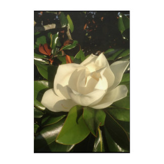 Magnolia Bloom in Afternoon Sun Acrylic Print