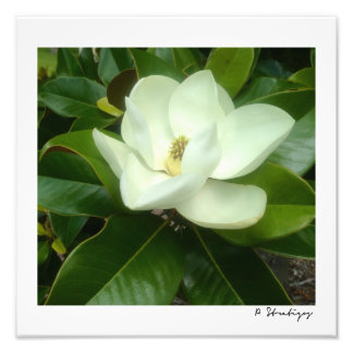 Magnolia Bloom Photo Print
