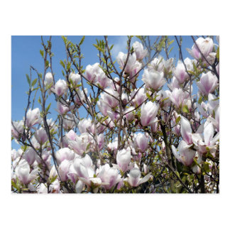 Magnolia Blooms In Spring Postcard