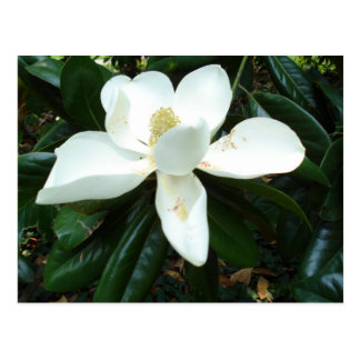 Magnolia Blossom Postcard