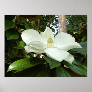 Magnolia Grandiflora Poster