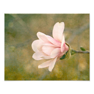 Magnolia Queen Photo Print