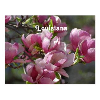 Magnolias Postcard