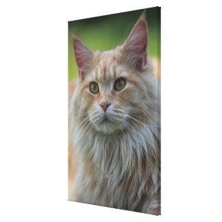 Main coon cat canvas print