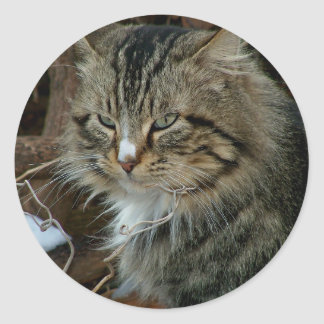 Maine Coon Feral Cat in Winter Portrait Classic Round Sticker