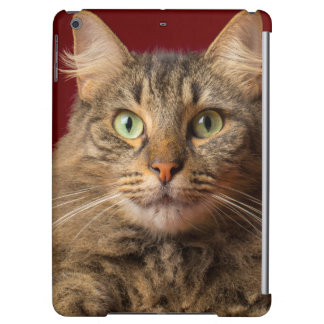 Maine Coon for Christmas with collector